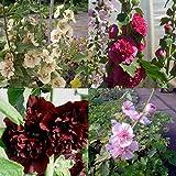 lichtnelke - 7 Stk. Malven / Stockrosen – Mix SPEZIAL großblumig * Bauerngarten * Raritäten * Bienenweide + Schmetterlingsmagneten * Dauerblüher