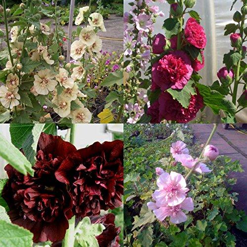 lichtnelke - 7 Stk. Malven / Stockrosen - Mix SPEZIAL großblumig * Bauerngarten * Raritäten * Bienenweide + Schmetterlingsmagneten * Dauerblüher