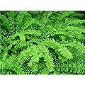 Pfauenradfarn Adiantum pedatum Farn Pflanze Staude winterhart im Topf gewachsen von Pflanzen für Dich bei Du und dein Garten
