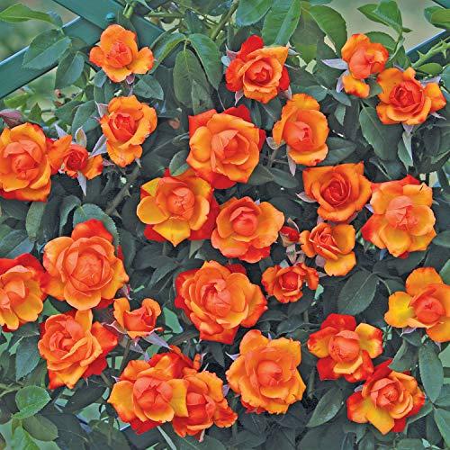 Clg. tempi moderni®, rosa rampicante in vaso di rose barni®, pianta di rosa rampicante rifiorente a mazzi, altezza raggiunta fino a 5 metri, rifiorente con fiori color arancio vermiglio, cod. 18038.