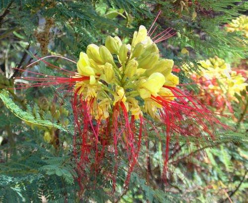 Caesalpinia gilliesii - « Oiseau du paradis mexicain » Hardy! - 10 graines