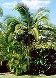 Bangalowpalme - 50 x Samen -Archontophoenix cunninghamiana