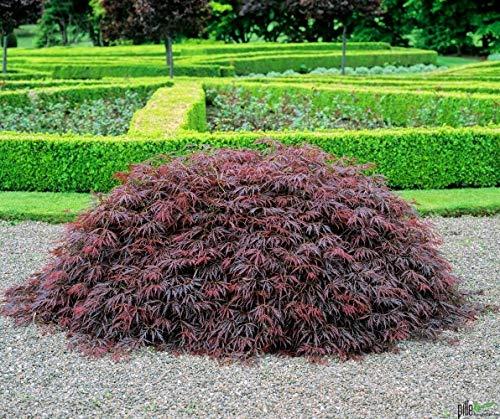Acer palmatum Dissectum Garnet roter Schlitzahorn japanischer Ahorn verschiedene Größen auf Stamm (Stammhöhe 80 cm)