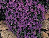 JustSeed - Blume - Rock Cress - Griechisches Blaukissen (Aubrieta deltoidea) - Royal Violett - 7500 Samen