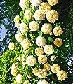 """BALDUR-Garten Rambler-Rosen-Sortiment """"Alchymist"""" und """"Bleu Magenta"""", 2 Pflanzen von Baldur-Garten bei Du und dein Garten"""