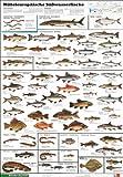 Mitteleuropäische Süsswasserfische: Schreiber Naturtafeln, Mitteleuropäische Süßwasserfische (Klett-Perthes Naturtafeln)