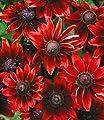 BALDUR-Garten Sonnenhut Rudbeckia 'Cherry Brandy', 3 Pflanzen von Baldur-Garten auf Du und dein Garten
