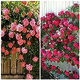 Best Climbing Roses - BEE Garden (2 Packs) Climbing Rose Flower Seeds Review