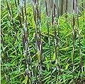 Horstbildender Fargesia nitida 'Black Pearl' von Blumen Senf auf Du und dein Garten