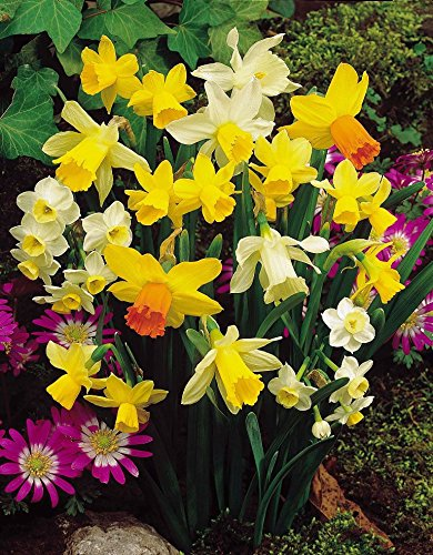 garthwaite-nurseriesr-50-mixed-miniature-daffodil-narcissus-bulbs-dwarf-special-mixture-perennial