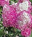 BALDUR-Garten Freiland-Hortensien 'Vanille Fraise®' im 3-Liter Container, Hydrangea paniculata, 1 Pflanze von Baldur-Garten bei Du und dein Garten