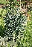 SeeKay Euphorbia lathryus - Wolfsmilch - 10 samen - Staude