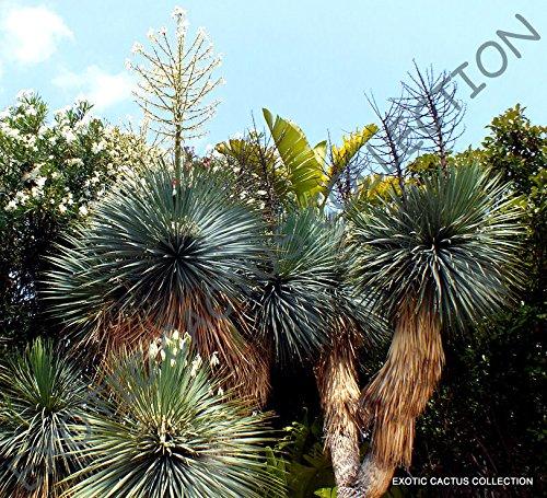 Portal Cool Seltene Yucca Rigida Blaue Yuca Exotische Agave Garten Wüsten-Baum wie Samen 15 Samen