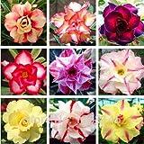 Pinkdose 5pcs / lot 9 Types couleurs mélangées Desert Rose, Adenium bonsaï obesum bricolage jardin # A010
