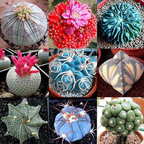Wekold Kaktus Samen Multi-Arten Kaktus Bonsai - 100 Samen Bizarr Kaktus Mehrjährige Seltene Sukkulenten Samen Büro