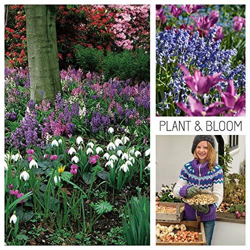 Plant & Bloom Blumenzwiebeln aus Holland, 50 Blumenzwiebeln, Schneeglöckchen, Narcissus Daffodil, Ruhm des Schnees - Cottage-Garten Wald Gartentaschen - Einfach zu züchten - Zum Pflanzen im Herbst