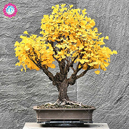 5pcs Ginkgo biloba Gingko Ginkgobaum Samen Nüsse Bonsai-Baum aus Samen Pflanzentopf für Hausgarten Balkon Hof angebaut