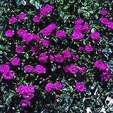 Pretty Pink, rosa rampicante in vaso di Rose Barni, pianta rampicante rifiorente a mazzi,h. raggiunta fino a 5 metri, pianta di rosa resistente alle malattie, leggermente profumata, cod.18088