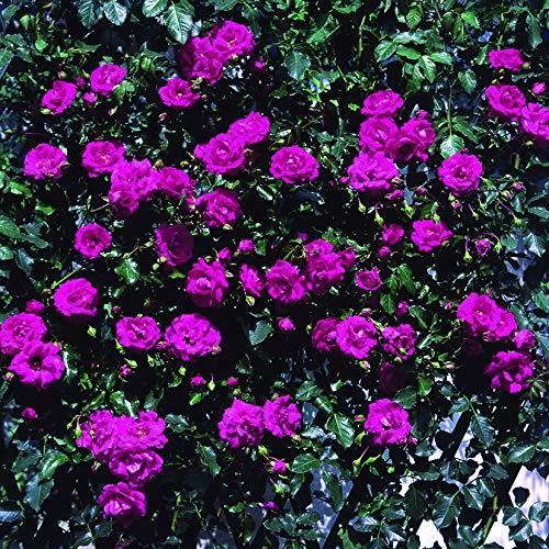 Pretty pink®, rosa rampicante in vaso di rose barni®, pianta rampicante rifiorente a mazzi,h. raggiunta fino a 5 metri, pianta di rosa resistente alle malattie, leggermente profumata, cod.18088