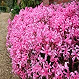 #2: Narine Lilly (Naraine) Flower Bulbs (Pink Colour) - Pack of 5 Bulbs By Gate Garden