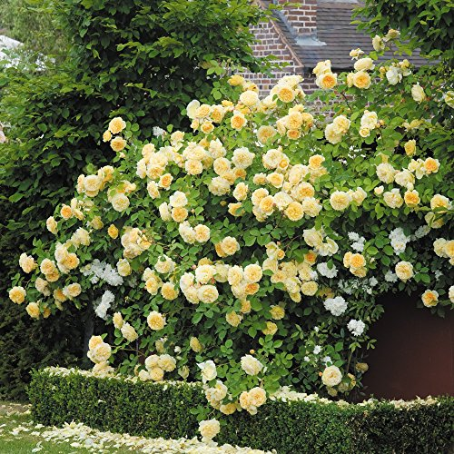 Yellow Climbing Rose Flower Seeds by E Garden