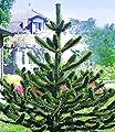 BALDUR-Garten Affenschwanz-Baum, Chilenische Schmucktanne, Affenbaum, Affenschaukel, Andentanne, 1 Pflanze Araucaria von Baldur-Garten - Du und dein Garten