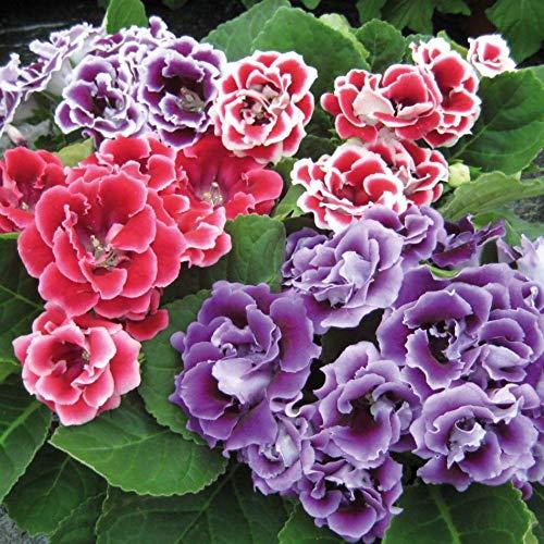 Usambaraveilchen Dekorative Zimmerpflanze