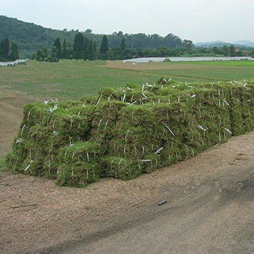 Evergreen Rasen Japanische zoysia Gras Samen Dürre und Widerstand zu trampeln warm-season für Zuhause Garten Pflanze 100g/Stück - Zoysia Gras