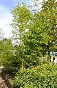 riesenbambus phyllostachys vivax aureocaulis wuchsh he in deutschland bis 12 meter 1 kg. Black Bedroom Furniture Sets. Home Design Ideas
