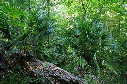 Rhapidophyllum hystrix - Nadelpalme - RARITÄT - extrem Frosthart - verschiedene Größen (70-90cm - Stamm 15-20cm Topf 7Ltr.)