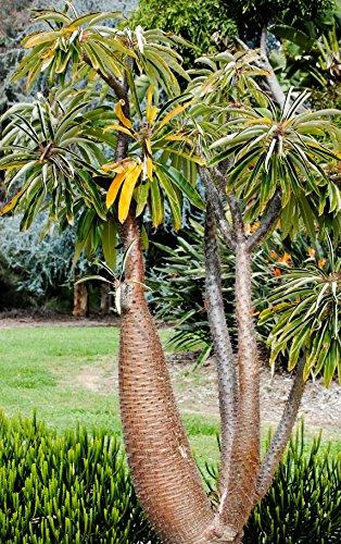 Seedeo Madagaskarpalme (Pachypodium lamerei) 10 Samen