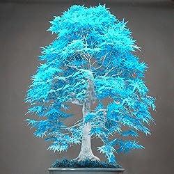20 semillas de árboles bonsai de arce azul cielo azul rara