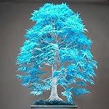 20 Bonsai blau Ahornbaum-Samen selten Himmel blau japanische Ahornsamen Balkonpflanzen für Hausgarten