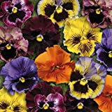 Graines de pensée à grandes fleurs ondulée 0,3 grammes
