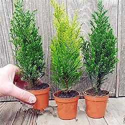 KINGDUO 50 Pcs Italienisch Zypressen Baum Seeds Zypressen Sempervirens Home Garten Bonsai Seeds