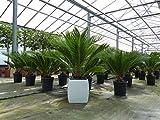 XL Palmfarn 70 - 90 cm Cycas Revoluta Sagopalme Palme, innen + außen