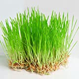 Wheat Grass 500 gm Organic seeds pack by Super Agri Green