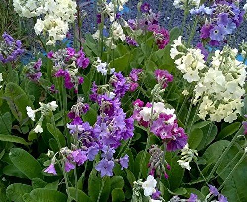 primula-alpicola-3-varieties-2-plants-of-each-6-plants-in-total-super-value
