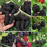Inkeme Giardino - semi di gelso organico zucchero mora mora gigante blackberry arbusto frutto perenne resistente per giardino balcone/terrazza