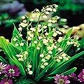 Maiglöckchen weiß von Meingartenshop auf Du und dein Garten