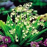 Muguet blanc /Convallaria majalis - 5 plantes