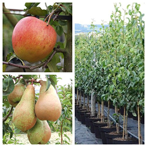 Grüner Garten Shop 2er Set Apfelbaum + Birnenbaum Pinova MM111 + Abate Fetel Bauschbaum + 1 P. Dünger 120-150 cm 9,5 Liter Topf