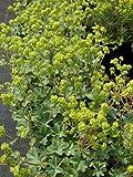 Alchemilla erythropoda - Zwerg-Frauenmantel, 50 Pflanzen