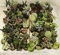 Mini-Sukkulenten 5,5cm Topf - Kakteen- echte Pflanzen - Ohne Dornen- Produktion Viggiano Cactus von Viggianocactus - Du und dein Garten