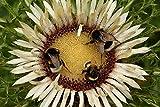 Cardo Carline senza gambo, semi di Cardo d'argento - Carlina acaulis - 75 semi - 75 semi