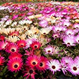 Tappeti Magici Semi Mixed - Mesembryanthemum criniflorum