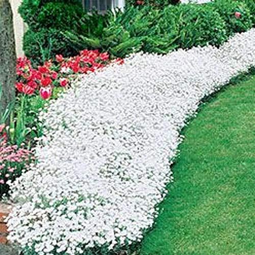 aimado sementi giardino - 100pcs raro flox piante tappezzanti perenni erba semi sementi fiori giardino tappezzante sempreverde resistenza al freddo perenne calpestabile
