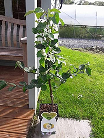 Dwarf Patio Cydonia Oblogna 'Vranja' Quince Tree In 5L Pot, Make Tasty Pies & Jelly 3fatpigs®