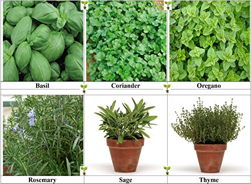 viridis-hortus-6-pack-herb-collection-seeds-basil-coriander-oregano-rosemary-sage-thyme