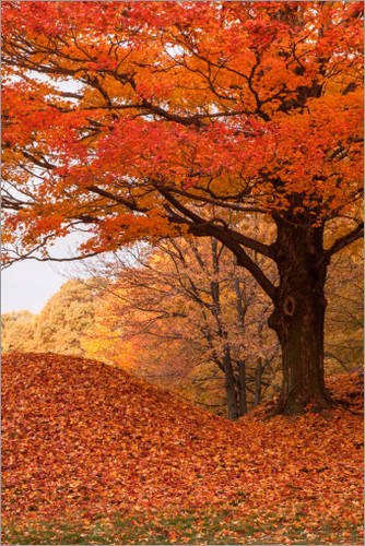 impresion-en-madera-80-x-120-cm-maple-tree-covered-in-orange-foliage-de-jeff-folger-getty-images